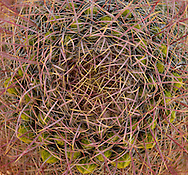 Barrel Cactus (Ferocactus) pattern with new flower buds, Anza-Borrego Desert State Park, Californin, USA. in the Anza Borrego Desert, California