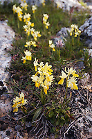 Sparsely-flowering Orchid (Orchis pauciflora), Crete