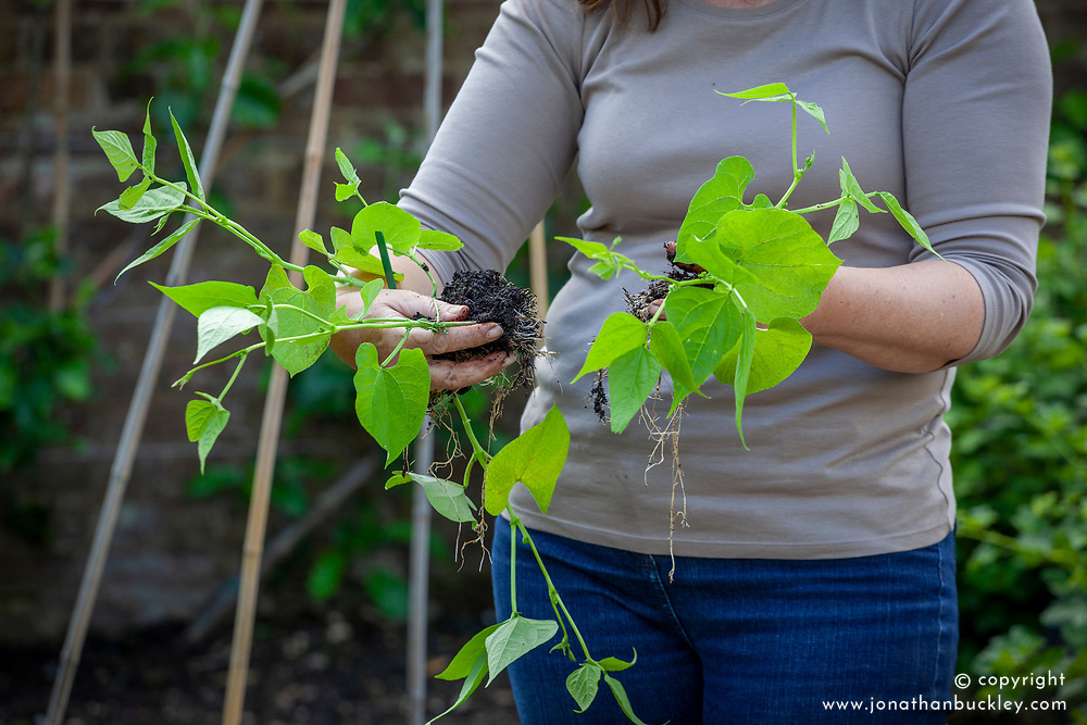 Holding runner beans - Phaseolus coccineus - ready to plant out and train up a cane wigwam