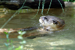 05 June 2005:   The North American river otter, also known as the northern river otter or the common otter, is a semiaquatic mammal endemic to the North American continent found in and along its waterways and coasts.