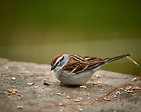 Chipping Sparrow feeding below a bird feeder. Image taken with a Nikon D5 camera and 600 mm f/4 VR lens (ISO 1600, 600 mm, f/4, 1/800 sec)