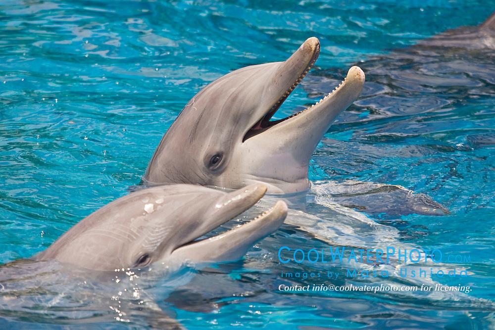 Atlantic bottlenose dolphins, Tursiops truncatus, Atlantic Ocean (c)