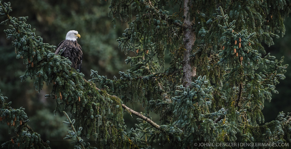A bald eagle (Haliaeetus leucocephalus) surveys the Chilkoot River from a tree in the Chilkoot Lake State Recreation Site near Haines, Alaska.