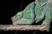 Parson's Chameleon (Calumma parsonii)<br /> East Madagascar<br /> Mantadia National Park<br /> MADAGASCAR<br /> ENDEMIC
