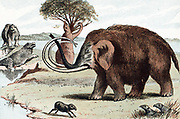 Woolly Mammoth (Mammuthus) extinct genus of elephant from Pleistocene Epoch (2,500,000 to 10,000 years ago) found in fossil deposits and in northern Europe as 30,000 year-old frozen carcasses in melting glaciers. From popular geology book published London 1892. Chromolithograph.