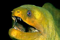 green moray, Gymnothorax funebris, Pickle Barrel Reef, Key Largo, Florida Keys National Marine Sanctuary, Florida, Atlantic Ocean