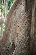 Tree giants, featuring impressive buttress roots, grow from the dense low forest of Tamborine Mountain in Australia.
