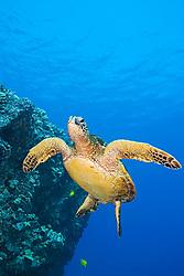 Endangered species, Green Sea Turtle, Chelonia mydas, off Kona Coast, Big Island, Hawaii, Pacific Ocean