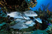 margates ( grunts ), Haemulon album, Cozumel Island, off Yucatan Peninsula, Mexico ( Caribbean Sea )