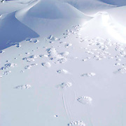 Polar bear tracks on top of snow drift that was used as a den site for mother and her new cubs. Wapusk National Park, close to Churhill, Manitoba on Churchill, Manitoba. Canada.