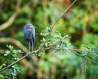 Little Blue Heron perched on a branch in Big Cypress Swamp. Image taken with a Nikon Df camera and 400 mm f2.8 lens (ISO 800, 400 mm, f/4, 1/125 sec).