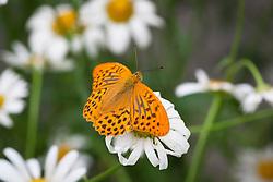 Male Silver washed fritillary - Argynnis paphia - on ox eye daisy