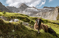 THEMENBILD - Schafe weiden auf Bergwiesen auf dem Kitzsteinhorn an einem sonnigen Tag, aufgenommen am 23. August 2018 in Kaprun, Österreich // Sheep graze on mountain pastures on the Kitzsteinhorn on a sunny day, Kaprun, Austria on 2018/08/23. EXPA Pictures © 2018, PhotoCredit: EXPA/ JFK