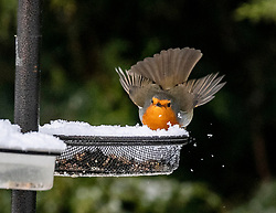 08FEB21 A robin in the garden this morning, Denny, Scotland.