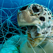 A green sea turtle tangled in fishing line and drown. <br /> <br /> This green sea turtle (Chelonia mydas) was found tangled in fishing line and a fishing hook off Eleuthera in The Bahamas. When the people who found her told me about it I knew I had to go back and remove the line so it didn't claim any more victims.