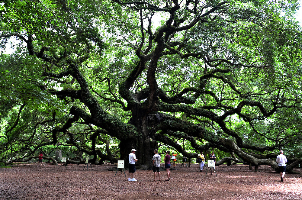 """""""Angel Oak"""" in  Johns Island near Charleston, South Carolina. Thought to be one of the oldest trees east of the Mississippi River"""