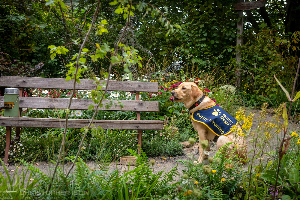 Guide Dog puppy in training, Flash, pictured in the Artisan Garden at RHS Chelsea which has been created this year in celebration of 90 years of guide dog partnerships in Britain. Flash is a female, eight-month-old Labrador named for Guide Dogs's 90th anniversary. <br /> Picture date: Monday September 20, 2021.<br /> Photograph by Christopher Ison ©<br /> 07544044177<br /> chris@christopherison.com<br /> www.christopherison.com