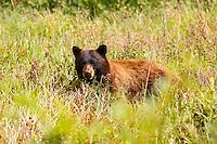A cinnamon colored black bear in the Many Glacier region of Glacier National Park<br /> <br /> ©2016, Sean Phillips<br /> http://www.RiverwoodPhotography.com