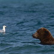 Alaskan Brown Bear, (Ursus middendorffi) Adult fishing for salmon. Gull waits for scraps. Alaska Peninsula