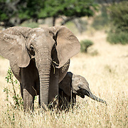 A young elephant stays close to its mother at Tarangire National Park in northern Tanzania not far from Ngorongoro Crater and the Serengeti.