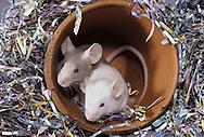 Pet White Mice - Mus musculus