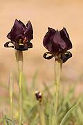 Coastal Iris or Purple Iris (Iris atropurpurea) This Iris is endemic to Israel Photogrpahed at the Poleg Nature reserve in Israel March 2011