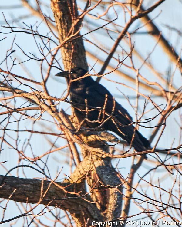 American Crow (Corvus brachyrhynchosr). Image taken with a Nikon D850 camera and 500 mm f/4 VR lens.