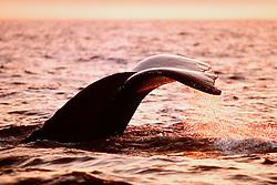 humpback whale, fluke-up dive, .Megaptera novaeangliae, at sunset, .Hawaii (Pacific).