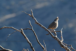 Scaled quail on perch above canyon, Ladder Ranch, west of Truth or Consequences, New Mexico, USA.