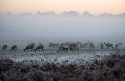 © Licensed to London News Pictures. 29/11/2016. London, UK. Deer grazing on a mist and frost covered landscape in Richmond Park, London as temperatures in the UK plummet. Sub zero temperatures are due to spread to the south east this week as winter starts to set in. Photo credit: Ben Cawthra/LNP