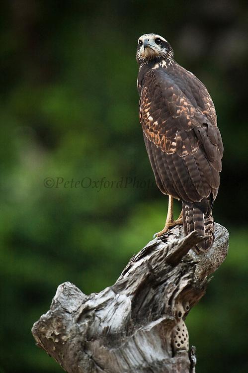 Great Black Hawk (Buteogallus urubitinga)<br /> Rainforest<br /> Rewa River<br /> Iwokrama Reserve<br /> GUYANA. South America<br /> RANGE: Mexico through Central America to Peru, Trinidad and northern Argentina.