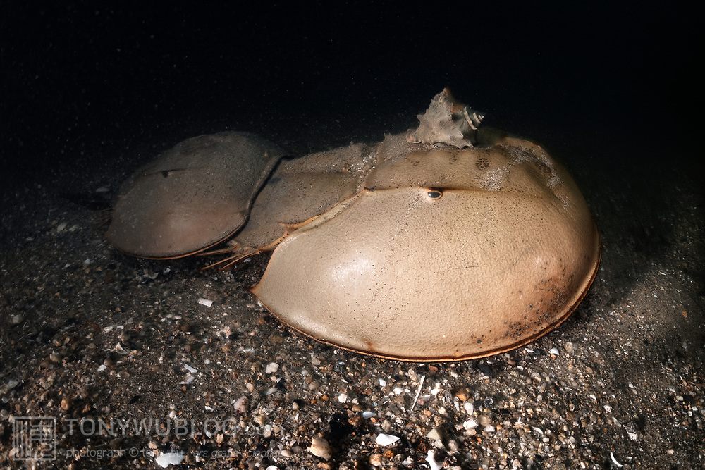 This is a pair of tri-spine horseshoe crabs (Tachypleus tridentatus) walking across the ocean bottom in shallow water just prior to spawning. The smaller male uses modified legs (pedipalps) to grasp onto the female in front. The female has just started to burrow into the substrate, a process which involves digging deep enough to bury the front part of her body (Prosoma) and much of her abdominal area (Opisthosoma) as well. When she eventually reaches acceptable depth and deposits eggs, the male will fertilize them. Females often deposit several clutches of eggs in the same general area before moving on to do the same in different locations.<br /> <br /> Note the gastropod riding on the female's head. Shells, barnacles and other similar passengers seem relatively common on these horseshoe crabs.<br /> <br /> Although these animals are called crabs, they are not members of the Subphylum Crustacea. They belong to a separate Subphylum—Chelicerata—which also comprises sea spiders, arachnids, and several extinct lineages such as sea scorpions. The earliest known fossils of horseshoe crabs date back 450 million years ago, qualifying these animals as living fossils, as they have remained largely unchanged.<br /> <br /> Tachypleus tridentatus is the largest of the four living species of these marine arthropods, all of which are endangered.