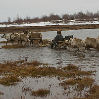 Risking a dousing north of the Arctic Circle in Russia, Alexei Semyashkin, a nomadic Komi reindeer herder,  steers his sled straight through a meltwater bog on the tundra near Snopa village.