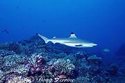 blacktip reef shark or blackfin reef shark, Carcharhinus melanopterus, swims over coral reef, Moorea, French Polynesia ( South Pacific Ocean )