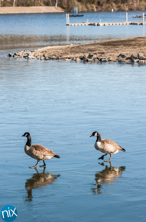 Geese navigate a frozen portion of the pond at Frank Liske Park Tuesday morning. Temperatures were in the single digits Tuesday.