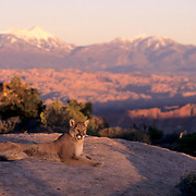 Mountain Lion, (Felis concolor) Adult in cayonlands of southern Utah. Red rock country. Captive Animal.