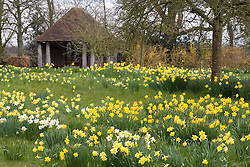 Daffodils in the orchard at Sissinghust Castle Garden in spring
