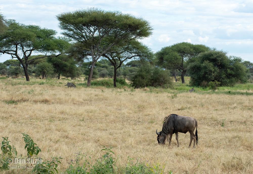 Wildebeest, Connochaetes taurinus, in Tarangire National Park, Tanzania. In the background are several Grant's Zebras, Equus quagga boehmi.