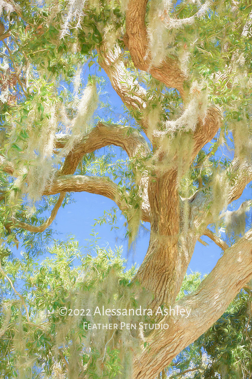 Spanish moss adorning tree in South Carolina. Painted effects blended with original photo.