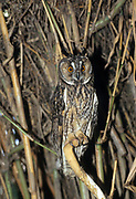 Long-eared Owl (Asio otus) in a tree. This owl inhabits woodland near open country throughout the northern hemisphere. It is strictly nocturnal and feeds mainly on small mammals such as mice and voles Photographed in Israel in May