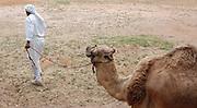 Bedouin walks his camel
