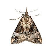 Bloxworth Snout - Hypena obsitalis