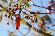 The deep red seedpods and delicate leaves of the guaje, or Huāxcuahuitl, tree (Leucaena leucocephala). Oaxaca, Mexico.
