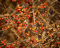 Bittersweet Berries. Backyard Winter Nature in New Jersey. Image taken with a Nikon D2xs camera and 70-200 mm f/2.8 lens (ISO 200, 190 mm, f/11, 1/80 sec).