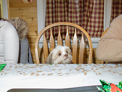 A small dog sits between two people at a holiday table during Christmas. Fords, New Jersey.