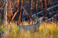 Ciervo de cola negra, Yellowstone NP, Wyoming (Estados Unidos)