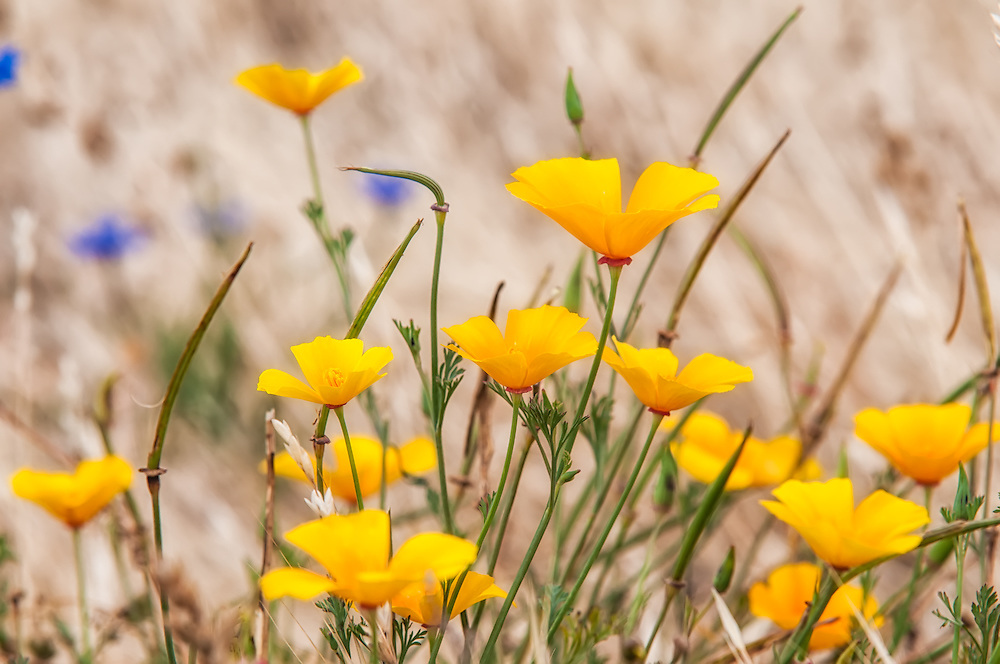 In summertie, masses of California poppies line roadsides and open areas, such as here in a field near Southern Washington's  Catherine Creek in the Columbia River Gorge.