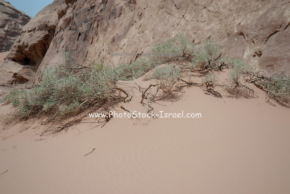 Growth out of hardship - green leafs grow out of the red desert sand Photographed in wadi rum, Jordan