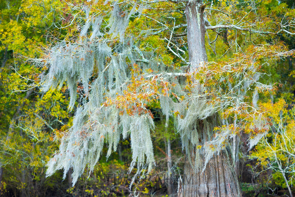 Bald cypress tree deciduous conifer, covered with Spanish Moss, in Atchafalaya Swamp, Louisiana USA