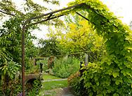 Humulus lupulus 'Aureus' on a metal arch leading to the Pillar Garden at Stockton Bury Gardens, Kimbolton, Leominster, Herefordshire, UK